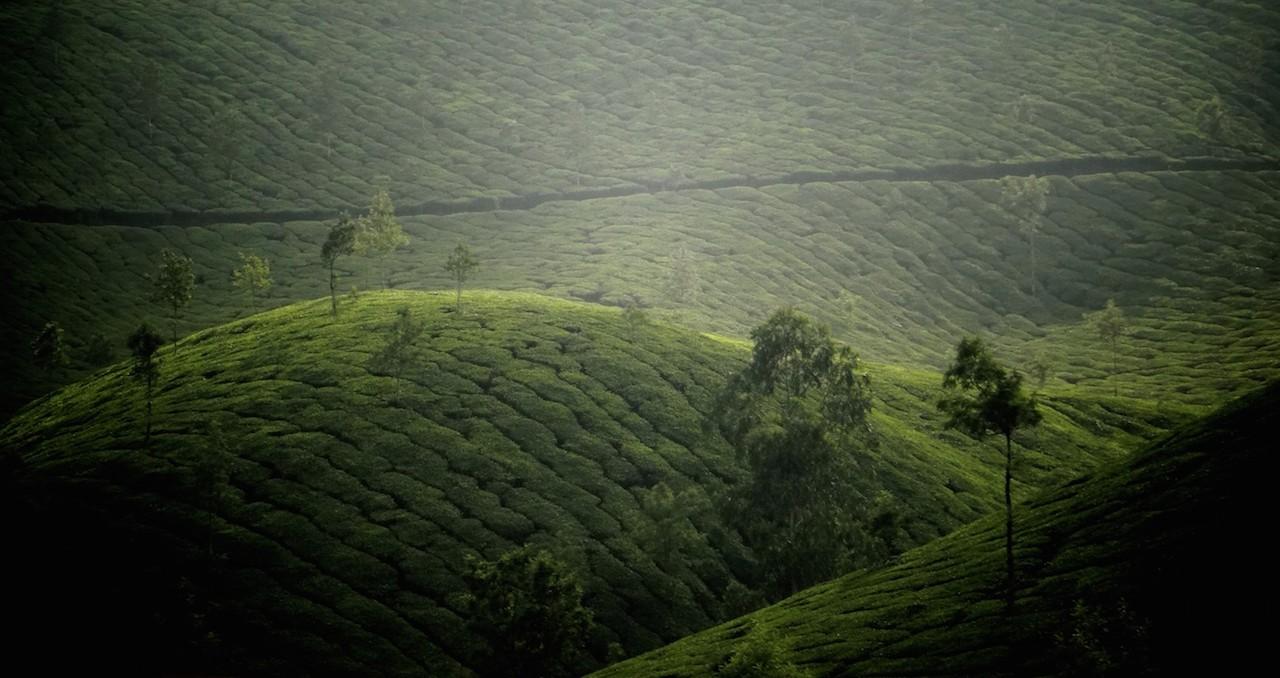 Munnar thé