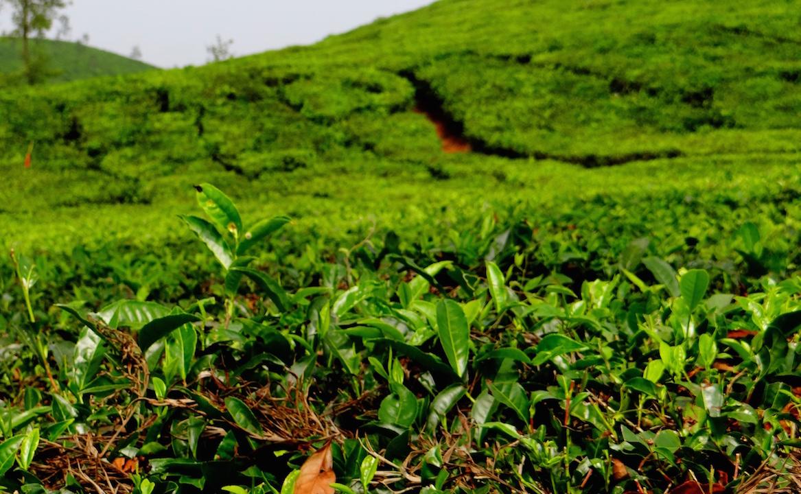 Wayanad Kerala Plantations de thé